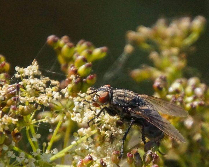 Flue, insekter