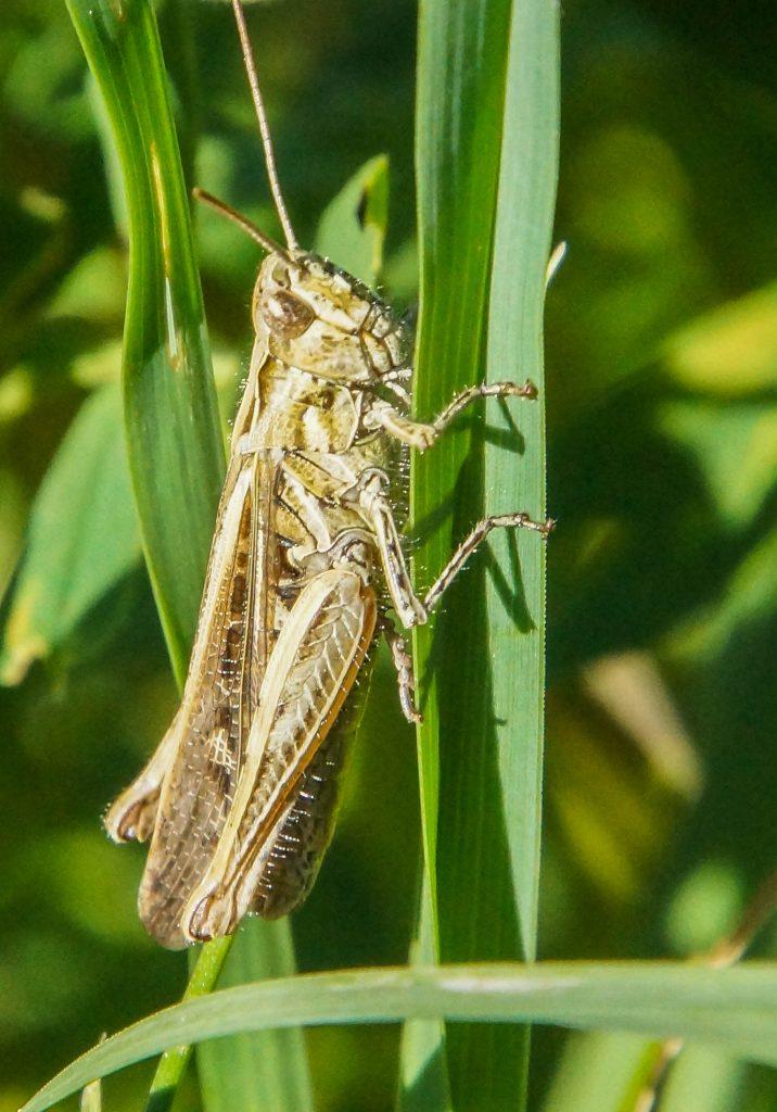 Græshoppe, insekter