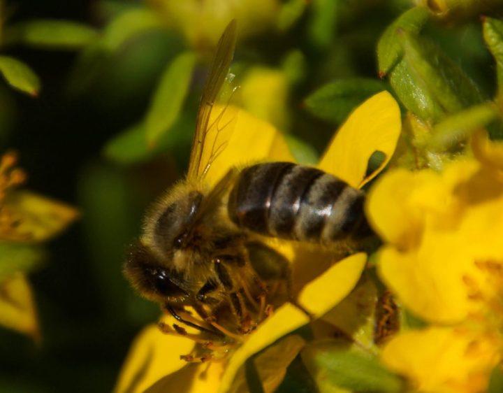 honningbi, insekter