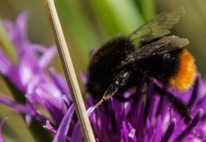 stenhumle, insekter
