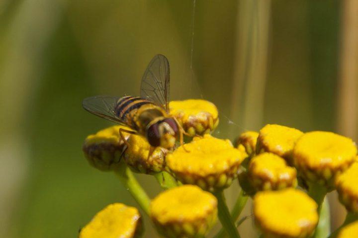 svireflue, insekter
