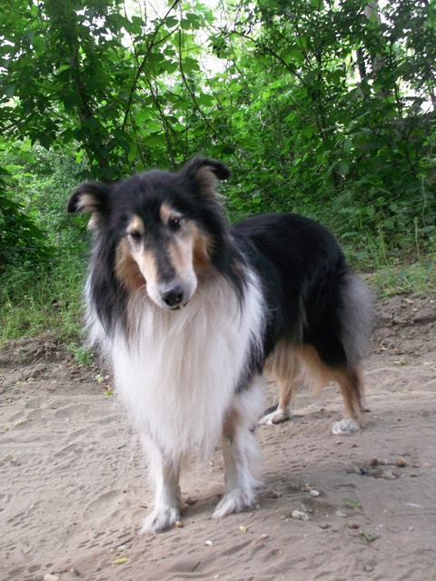 Lassie, aki most már Virág