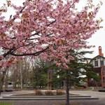 江別市野幌の桜の名所を歩いてみた2016
