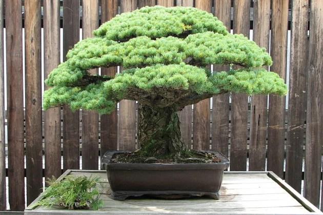 Bonsai Japanese White Pine