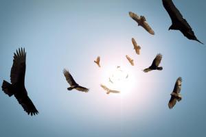 Circling vultures