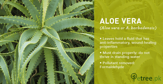 Aloe Vera Plant benefits, Air Purifying Plants in Pakistan by eTree.pk