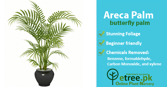 Areca Palm benefits, Air Purifying Plants in Pakistan by eTree.pk