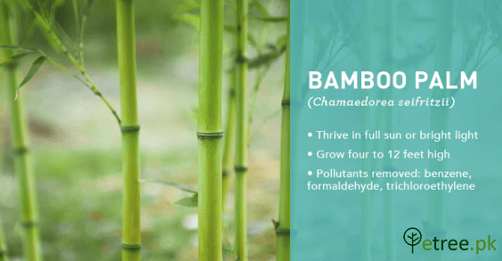 Bamboo Palm, Parlour Palm benefits, Air Purifying Plants in Pakistan by eTree.pk