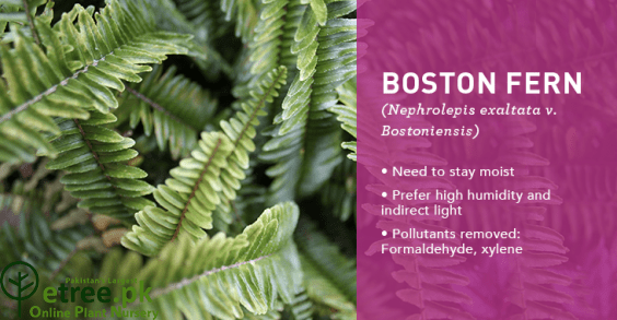 Boston Fern Benefits, Air Purifying Indoor plant in pakistan by etree.pk