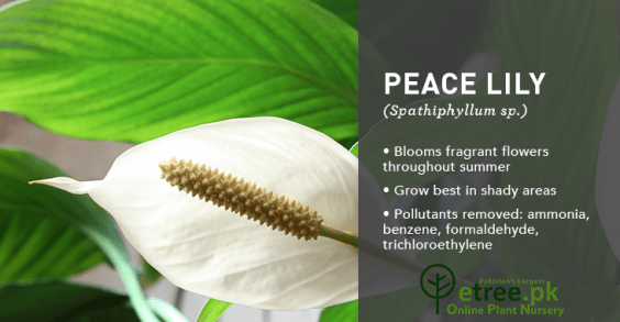 Peace lily Plant benefits, Air Purifying Plants in Pakistan by eTree.pk