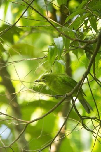 Lesser Green Leafbird (Chloropsis cyanopogon, female)