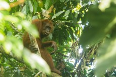 Orangutan (Pongo pygmaeus, female)