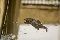 Water Monitor (Varanus salvator)