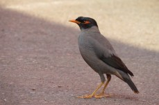 Bank Mynah are common in this part of India, often seen scavenging for leftover food.