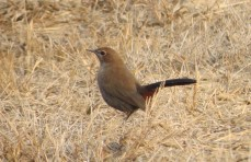I was happy to spot this Indian Robin in a desolate-looking dry grassland