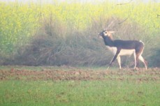 A male Blackbuck came out of the grasses chasing a female. Amazed to see these antelopes in cultivated fields!