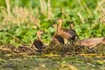 Wandering Whistling Duck (Dendrocygna arcuata)