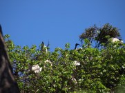 the ibis like to perch up high too