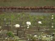 Leaning Tree Lagoon white lillies