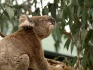 old man koala (woman??)