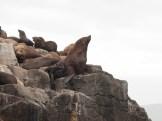 Bruny Island seals - sentinel