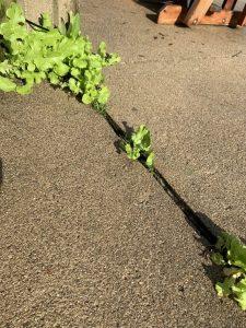 Patio/driveway lettuce