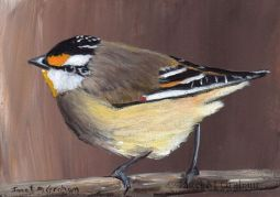 Striated Pardalote ACEO by Janet M Graham