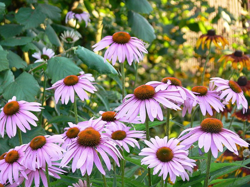 Impressive Benefits Of Echinacea To Support Your Health