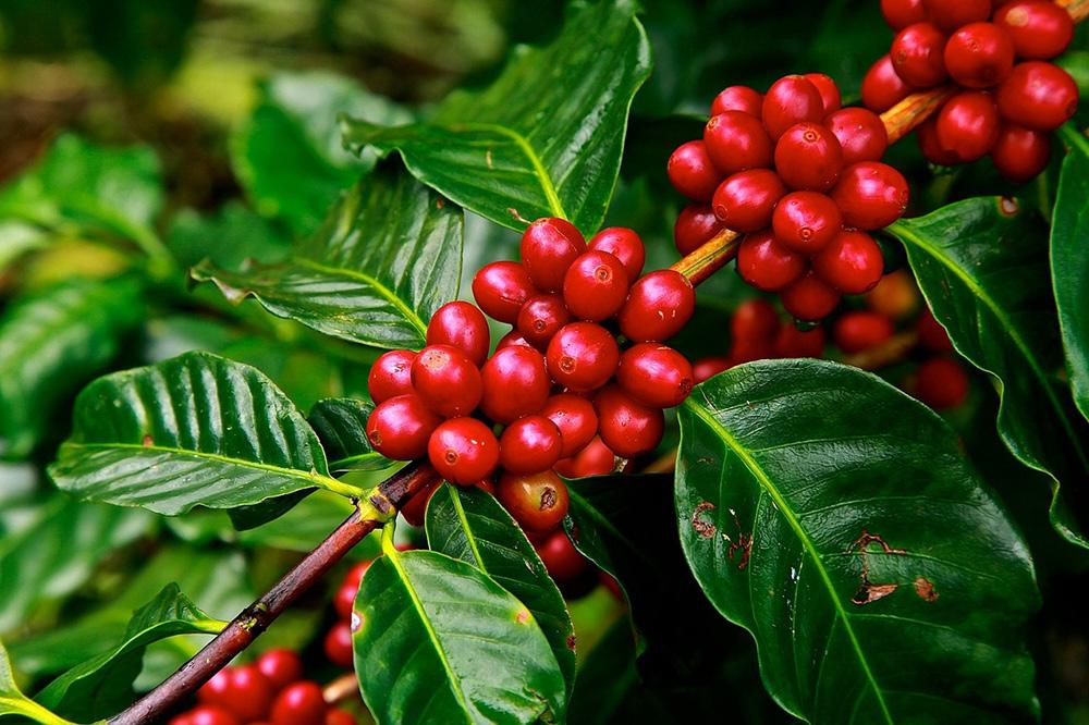 Benefits of Cherries - eBuddynews