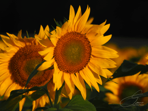 Sunflower Sunrise by Lisa Drew Photos