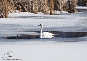 Winter Swan - Lisa Drew Photos Minneapolis