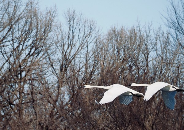 Swans in Flight - Lisa Drew Photos Minneapolis