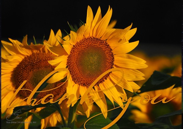 Thank You Sunflowers by Lisa Drew Photos Minneapolis
