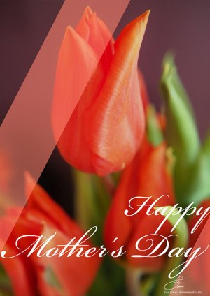 Mothers Day Tulips-Lisa Drew Photos Minneapolis