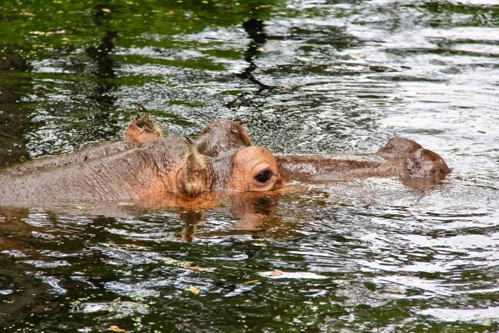 Hippopotamus Swimming in Homosassa Springs