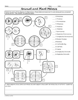 Animal And Plant Cell Mitosis Biology Homework Worksheet