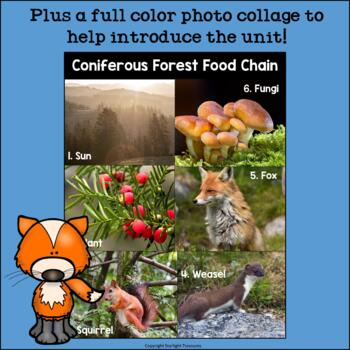 Also known as boreal forests, these ecosystems comprise mainly evergreen, coniferous trees, such as spruce and pine. Coniferous Forest Food Chain Mini Book For Early Readers Food Chains