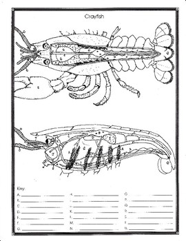 Crayfish Anatomy And Simulated Dissection Worksheet By