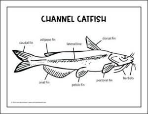 Label a Fish Diagram  Parts of a Fish Labeling  Channel