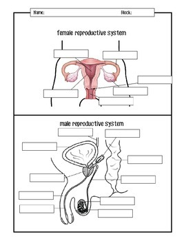 Male and Female Reproductive Systems Diagrams by