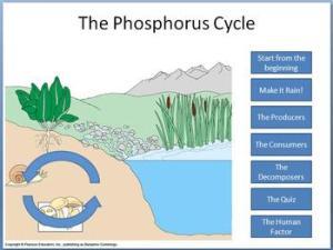 Phosphorus Cycle tutorial by Beverly Biology | Teachers