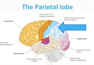 The Cerebral Cortex by MCTeacher | Teachers Pay Teachers