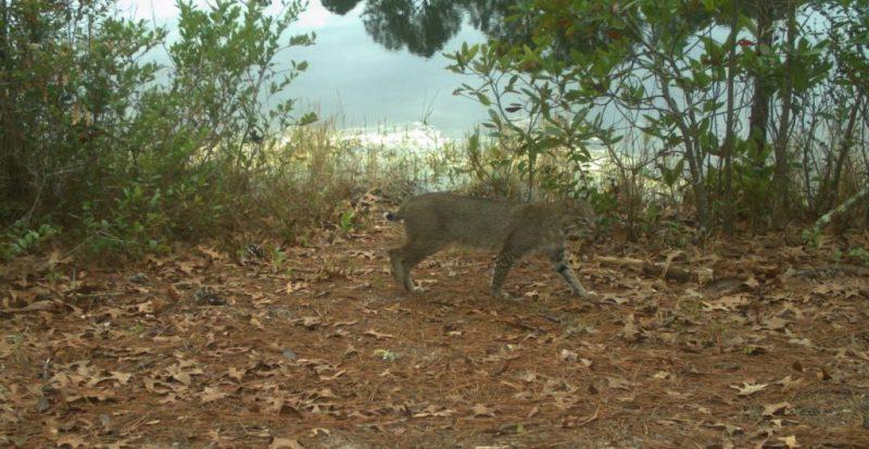Bobcat walking by lake