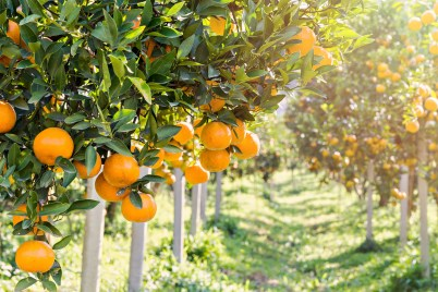 Ripe and fresh oranges hanging on branch, orange orchard