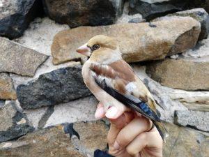 IOM Hawfinch