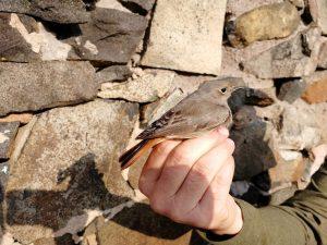 IOM Redstart