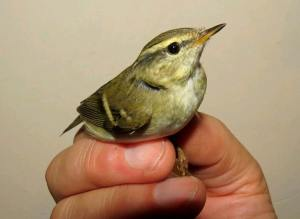 IOM Yellow browed warbler1