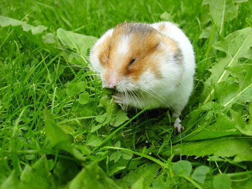 500px-Syrian_hamster_filling_his_cheek_pouches_with_Dandelion_leaves