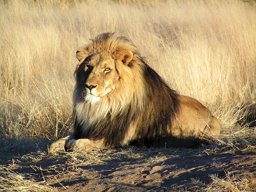 A lion in Namibia.
