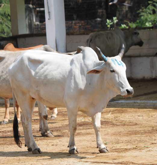 white bull IMG_3725 2